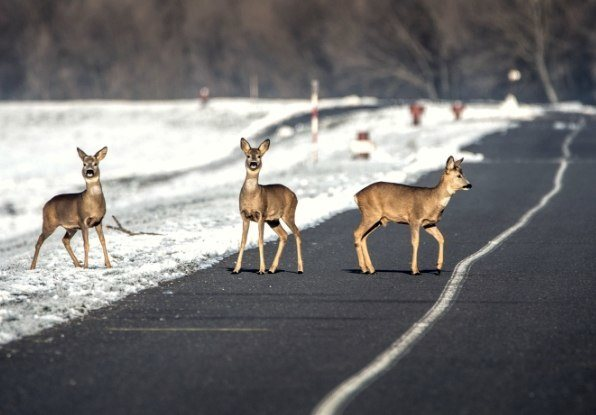 Image of animals on a road, which pose a threat to driver safety.